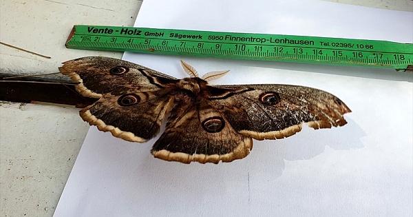 16 santimlik tavus kelebeği bulundu