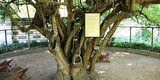 370 yıllık kızılcık ağacı yıllara meydan okuyor