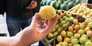 Elma büyüklüğündeki kayısılar görenleri şaşırtıyor