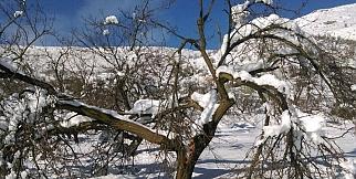 Kar kayısı ağaçlarının dallarını kırdı