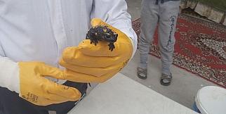 Malatya'da sarı benekli semender bulundu