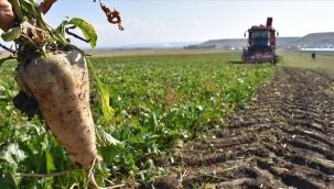 Pancar mısır ve ayçiçeği alımları başladı