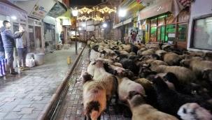 Trafik durdu koyun sürücü geçti
