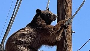 ABD'de mahsur kalan ayı kurtarıldı