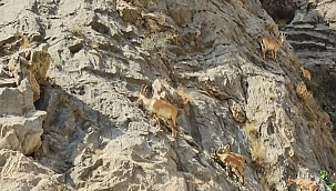 Arapgir'de dağ keçileri görüntülendi