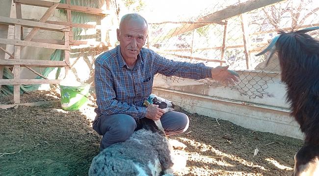 Sokak köpekleri koyunlara saldırdı