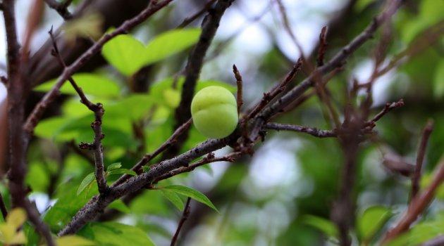 Erik ağacı kışın meyve verdi