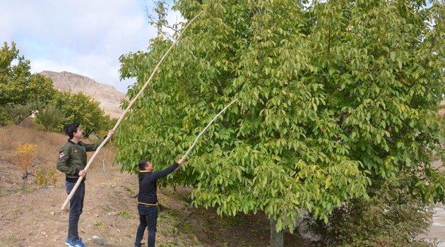 Hekimhan'da Ceviz hasadı başladı