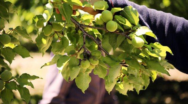 Kayısı ağaçlarında ilaçlama uyarısı