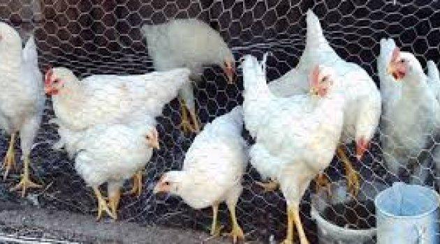 Malatya'da 2 milyon Kümes Hayvanı Var