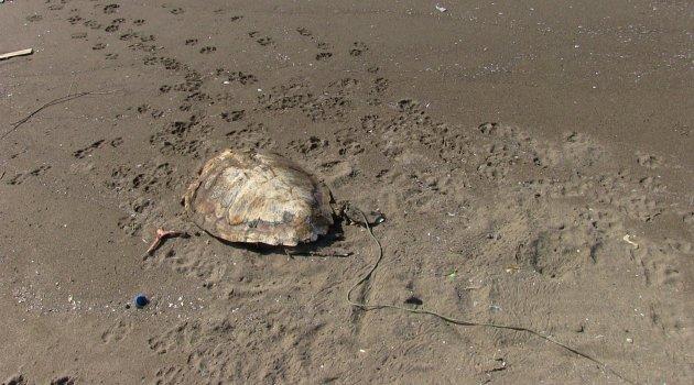 Sahilde öldürülmüş deniz kaplumbağası bulundu
