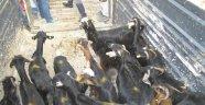 Genç çiftçilere kıl keçileri dağıtıldı