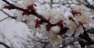 Kayısı çiçeğine kar düştü