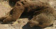 Yola inen ayıya araç çarptı