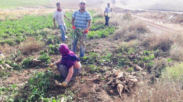 Yazıhan'da pancar hasadı başladı