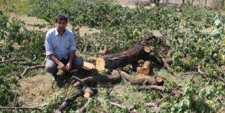 Bazı üreticiler, fiyatı az bulunca ağaçları kesti