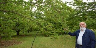 Tarım ilacı kayısı ağaçlarını kuruttu